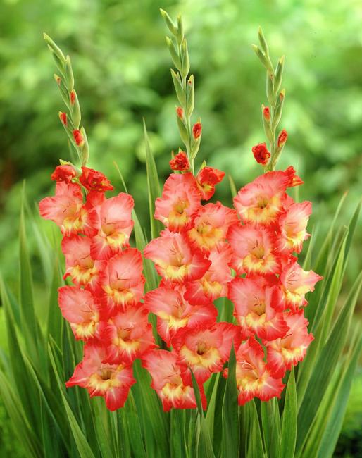 gladiolus-augle